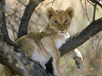 African Lion, Cub, Botswana