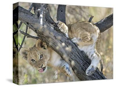 African Lion, Young Cub Climbing Tree, Southern Africa
