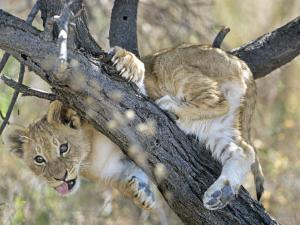 African Lion, Young Cub Climbing Tree, Southern Africa by Mark Hamblin