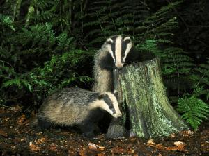 Badger, Cubs on and Around Tree Stump, UK by Mark Hamblin