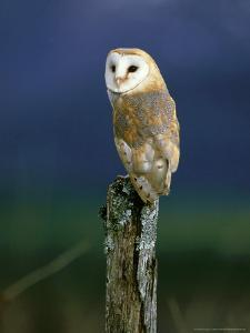 Barn Owl, Adult Perched on Post, Scotland by Mark Hamblin