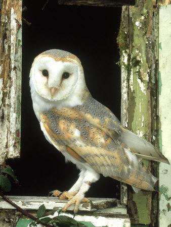 Barn Owl Perched in Old Window Frame, South Yorks