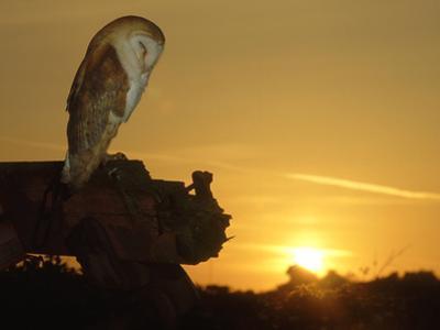 Barn Owl, Tyto Alba Asleep at Sunset