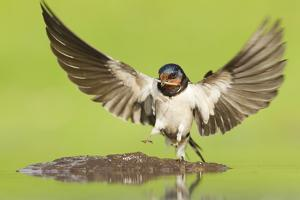 Barn Swallow (Hirundo Rustica) Collecting Mud for Nest Building. Inverness-Shire, Scotland, June by Mark Hamblin