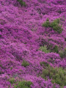 Bell Heather in Flower on Moorland, July, UK by Mark Hamblin