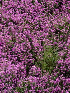 Bell Heather in Flower on Moorland, July by Mark Hamblin