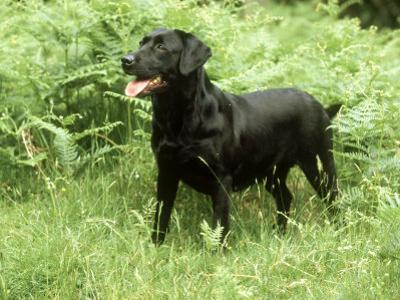 Black Labrador, Amongst Bracken in Spring UK