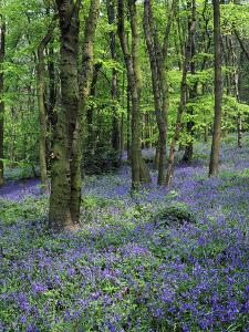Bluebells in Deciduous Woodland, UK by Mark Hamblin