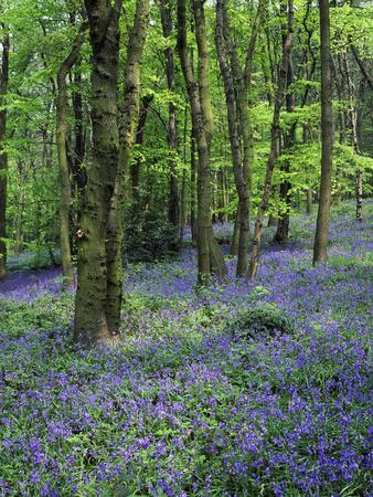 Bluebells in Deciduous Woodland, UK
