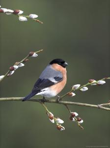 Bullfinch, Male Perched on Pussy Willow, UK by Mark Hamblin