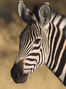 Burchells Zebra, Close-up Portrait, Botswana (August) by Mark Hamblin