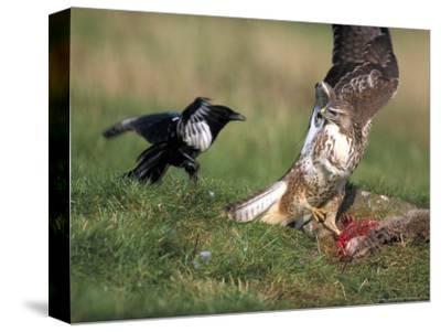 Buzzard, Fending off Magpie from Prey