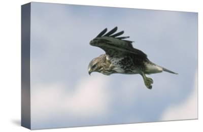 Buzzard in Flight, Wales, UK
