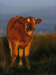 Calf (Simmental Cross) by Mark Hamblin