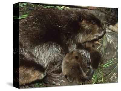 Canadian Beaver, Castor Canadensis Female with Young