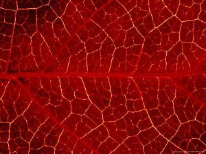 Close-up Detail of Veins In, Leaf of Virginian Creeper October, Scotland by Mark Hamblin
