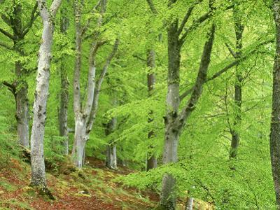 Common Beech in Early Spring, Scotland