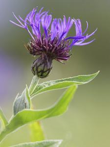 Cornflower, Close up of Flower Head, Scotland by Mark Hamblin