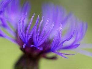 Cornflower, Close-up of Flower Head, Scotland by Mark Hamblin