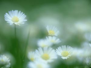 Daisy, Bellis Perennis in Flower, Soft Focus Scotland, UK by Mark Hamblin