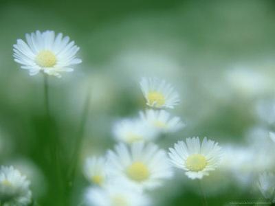 Daisy, Bellis Perennis in Flower, Soft Focus Scotland, UK