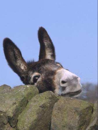Donkey, Peering Over a Stone Wall, UK by Mark Hamblin