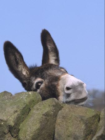 Donkey, Peering Over a Stone Wall, UK