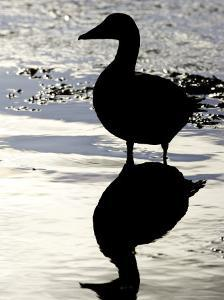 Eider, Portrait of Adult Silhouetted in Tidal Estuary, Norway by Mark Hamblin