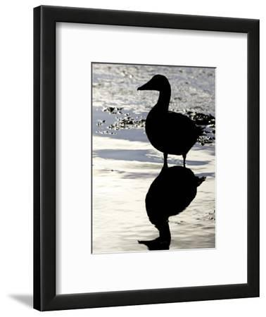 Eider, Portrait of Adult Silhouetted in Tidal Estuary, Norway