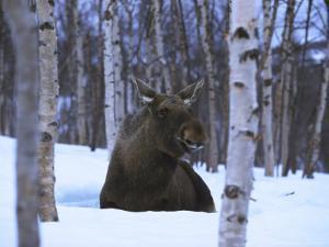 Elk or Moose, Resting in Snow, Norway by Mark Hamblin