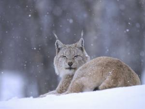 European Lynx, Female Resting in Falling Snow, Norway by Mark Hamblin