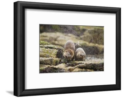 European Otter (Lutra Lutra) Mother and Cub Shaking Water from their Coats
