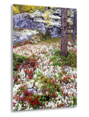 Forest Floor Carpeted with Bilberry and Lichens in Autumn, Norway