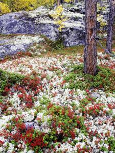 Forest Floor Carpeted with Bilberry and Lichens in Autumn, Norway by Mark Hamblin