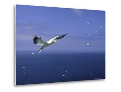 Gannet, Sula Bassana in Flight Bass Rock