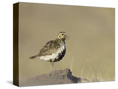 Golden Plover, Adult in Summer Plumage Calling, Iceland
