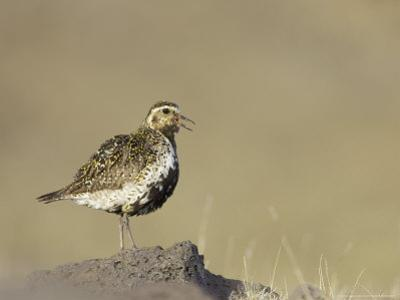 Golden Plover, Adult in Summer Plumage Calling, Iceland by Mark Hamblin
