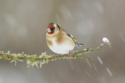 Goldfinch (Carduelis Carduelis) Perched on Branch in Snow, Scotland, UK, December