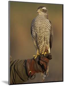 Goshawk, Adult Perched on Falconers Glove, Scotland by Mark Hamblin