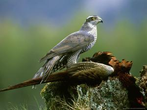 Goshawk, Feeding on Pheasant, Scotland by Mark Hamblin
