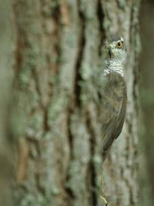 Goshawk, Peering from Between Trees by Mark Hamblin
