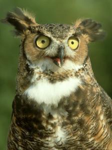 Great Horned Owl, Bubo Virginianus Close-up Portrait, Calling, USA by Mark Hamblin