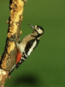 Great Spotted Woodpecker, Portrait by Mark Hamblin