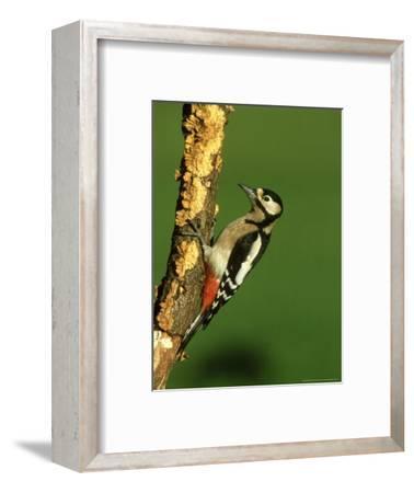Great Spotted Woodpecker, Portrait