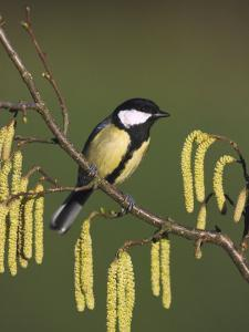 Great Tit, Perched on Hazel Catkins, UK by Mark Hamblin