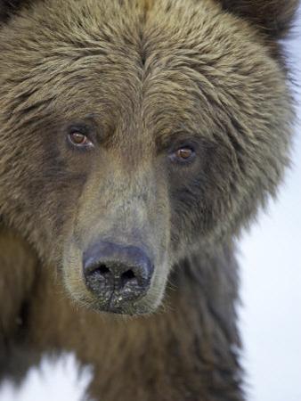 Grizzly Bear, Portrait of Adult Female, Alaska