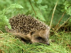 Hedgehog by Mark Hamblin