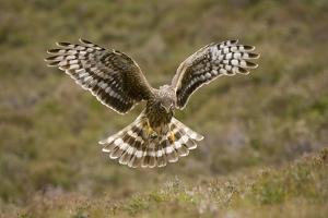 Hen Harrier (Circus Cyaneus) Hovering over Moorland, Glen Tanar Estate, Deeside, Scotland, UK by Mark Hamblin