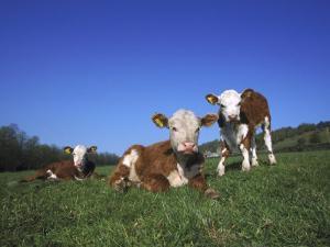 Hereford Cattle, Calves in Grass Meadow, UK by Mark Hamblin
