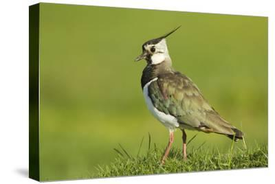 Lapwing (Vanellus Vanellus) Adult in Breeding Plumage, Scotland, UK, June
